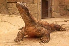 Komodo dragon. A Komodo dragon lifts his head high, using his powerful front legs Stock Photography