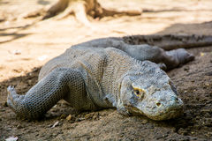 Komodo Dragon Lizard Stock Afbeelding