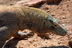 Komodo dragon lizard Royalty Free Stock Photo