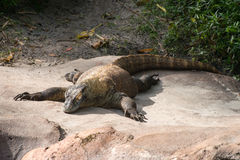 Komodo Dragon Lizard Royalty Free Stock Photography