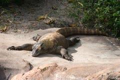Komodo Dragon Lizard Royalty Free Stock Photography