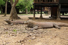 Komodo Dragon, Loh Buaya Rinca Island stock photography