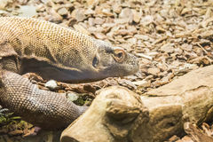 Komodo dragon looking closely something.  Royalty Free Stock Photos