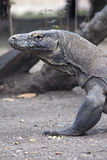 Komodo dragon looks threatening at camera Royalty Free Stock Photography
