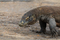 Komodo Dragon in a Mangrove swamp Royalty Free Stock Photos