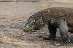 Komodo Dragon in a Mangrove swamp Royalty Free Stock Photos