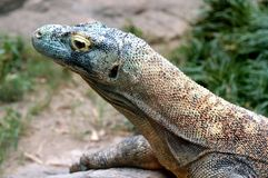 A Komodo Dragon At The Memphis Zoo Stock Photo
