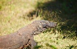 Komodo Dragon. At Komodo National Park a Royalty Free Stock Images