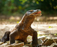 Komodo Dragon. At Komodo National Park a World Heritage Site Indonesia stock images