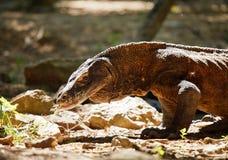 Komodo Dragon. At Komodo National Park a Royalty Free Stock Photography