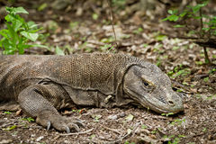 Komodo dragon in natural habitat Royalty Free Stock Images