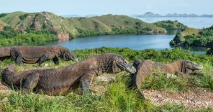 Komodo dragon in natural habitat. Scientific name: Varanus komodoensis. Natural background is Landscape of Island Rinca. Indonesia royalty free stock image