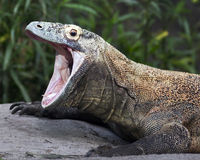 Komodo dragon. With open mouth stock image