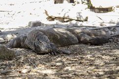 Komodo Dragon Stock Photos