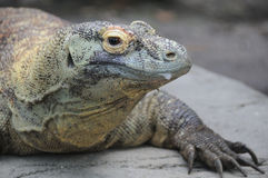 Komodo Dragon Portrait. Closeup portrait of giant Komodo dragon lizard Royalty Free Stock Photo