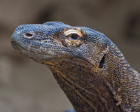 Komodo dragon portrait. Close up portrait of a Komodo dragon Stock Photos