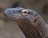 Komodo dragon portrait Stock Photos
