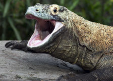 Komodo dragon portrait. Close up portrait of a Komodo dragon with an open mouth Royalty Free Stock Photos