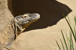 Komodo dragon. Portrait  in Komodo Island,  Indonesia Stock Photos