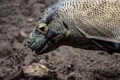 Komodo Dragon Portrait med det öppna ätarovet för mun royaltyfri bild