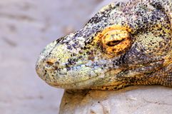Komodo dragon portrait. The Komodo dragon (Varanus komodoensis), also known as the Komodo monitor, is a large species of lizard found in the Indonesian islands Stock Photo