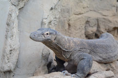 Komodo dragon profile3 Royalty Free Stock Photo