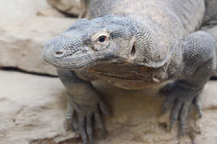 Komodo dragon profile2 Stock Image
