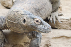 Komodo dragon profile Royalty Free Stock Photo