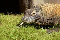 Komodo Dragon. An profile portrait of a Komodo Dragon shot at Animal Kingdom, Disney World Royalty Free Stock Images
