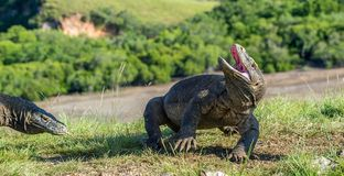 The Komodo dragon  raised the head with open mouth. The Komodo dragon raised the head with open mouth.  Varanus komodoensis . It is the biggest living lizard in Royalty Free Stock Image