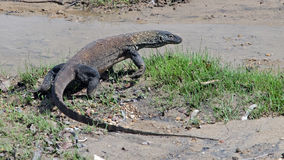 Komodo dragon. Real Komodo dragon in natural habitat royalty free stock photo