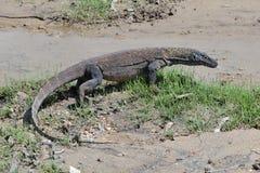 Komodo dragon. Real Komodo dragon in natural habitat stock photography