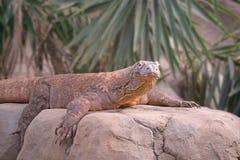 Komodo Dragon Rests på en vagga Royaltyfri Foto