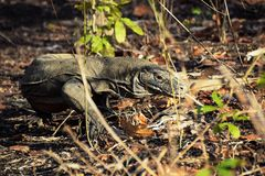 Komodo Dragon on Rinca Island, Komodo National Park, Indonesia stock images