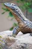 Komodo dragon on a rock Royalty Free Stock Photo