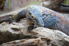 Komodo dragon on a rock Royalty Free Stock Photos