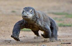 Komodo dragon running. Attack of a Komodo dragon. The dragon running on sand. The Running Komodo dragon Varanus komodoensis . Is the biggest living lizard in the stock photo