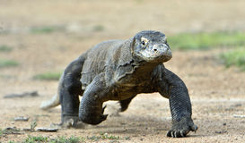Komodo dragon running Royalty Free Stock Photos