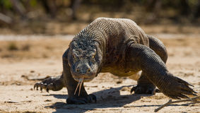 Komodo dragon runs along the ground. low point shooting. Dynamic picture. Indonesia. Komodo National Park Royalty Free Stock Photos