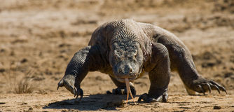 Komodo dragon runs along the ground. low point shooting. Dynamic picture. Indonesia. Komodo National Park Stock Photo
