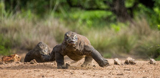 Komodo dragon runs along the ground. low point shooting. Dynamic picture. Indonesia. Komodo National Park Stock Images