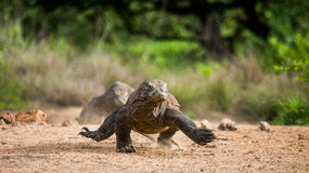 Komodo dragon runs along the ground. low point shooting. Dynamic picture. Indonesia. Komodo National Park Stock Image