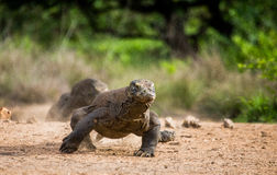 Komodo dragon runs along the ground. low point shooting. Dynamic picture. Indonesia. Komodo National Park Stock Photography