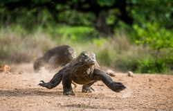 Komodo dragon runs along the ground. low point shooting. Dynamic picture. Indonesia. Komodo National Park Royalty Free Stock Photography