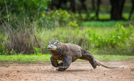 Komodo dragon runs along the ground. low point shooting. Dynamic picture. Indonesia. Komodo National Park Royalty Free Stock Image