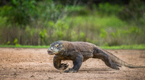 Komodo dragon runs along the ground. low point shooting. Dynamic picture. Indonesia. Komodo National Park Stock Photos