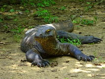 Komodo dragon with saliva. Royalty Free Stock Photography