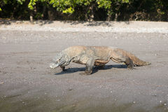 Komodo Dragon on Sandy Beach Stock Images