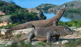 Free Komodo Dragon.  Scientific Name: Varanus Komodoensis. Indonesia. Rinca Island Royalty Free Stock Image - 143360966