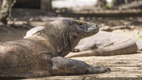 Komodo dragon sits with its arms outstretched Stock Photos